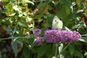 Budleja Dawida z motylem Bielinkiem