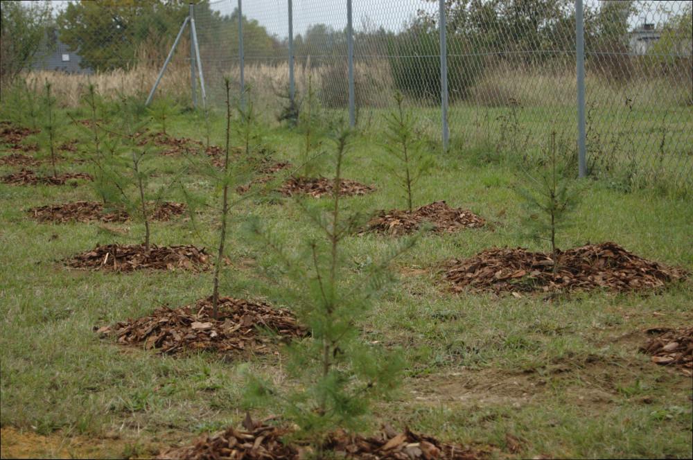daglezje, nasadzenia drzew w Miliczu realiazcja Semini