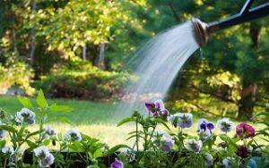 podlewanie ogrodu konewką bratki w ogrodzie Semini