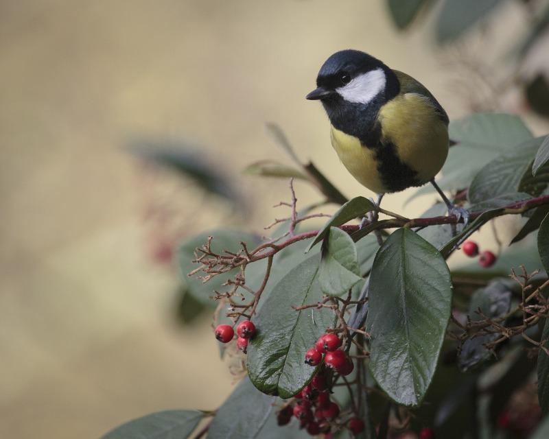 Sikora wkrótce zje ostatnie owoce z krzaka, a owadów zimą brak.