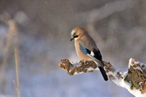 Sójka spędza zimę w Polsce. Dokarmianie ptaków zimą powinno ją obejmować.