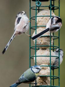 Ptaki przy karmniku z kulami tłuszczowymi