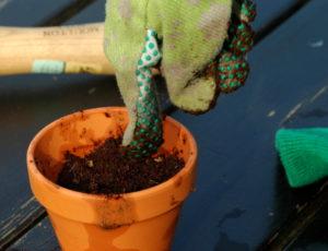 Przysypane cienką warstwą podłoża nasiona należy delikatnie ugnieść.