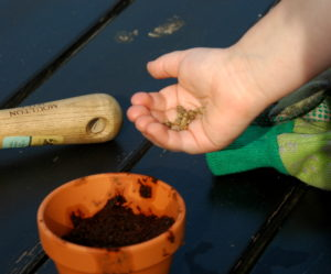 Wysiewanie nasion buraka do doniczki.