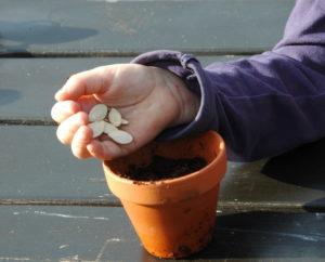 Wysiewanie nasion dyni do doniczki.