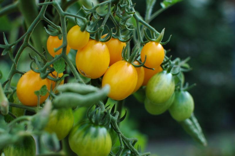 żółte pomidory koktajlowe we własnym ogródku od ziarenka