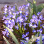 Cebulice kwitnące w marcu na niebiesko rozsiewają się szeroko.