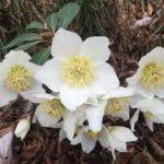 ciemiernik bylina zimozielona kwitnie zimą lubi cieniste miejsca
