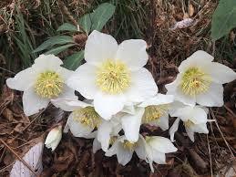 ciemiernik biały, kwitnie na przekór aurze