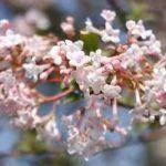 Kalina wonna w marcu kwitnie na różowo i pachnie