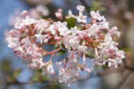 kalina wonna ma pachnące słodko, różowe kwiaty wczesną wiosną.