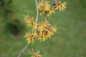 oczar, pachnący krzew, rośnie powoli i kwitnie dużo przed forsycjami