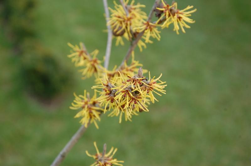 Oczar krzew wolnorosnący kwitnie w lutym i pachnie