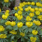 ranniki cebulowe kwiaty kwitną na żółto od lutego, do półcienia
