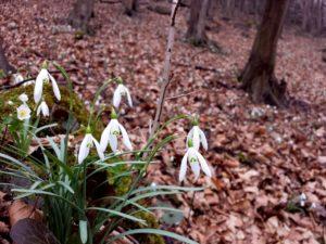 Przebiśniegi w lutym już kwitną, same się rozsiewają
