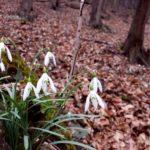 przebiśniegi od lutego kwitną, zapowiadają wiosnę, rozmnażają się z cebul