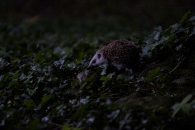 dokąd tupta nocą jeż