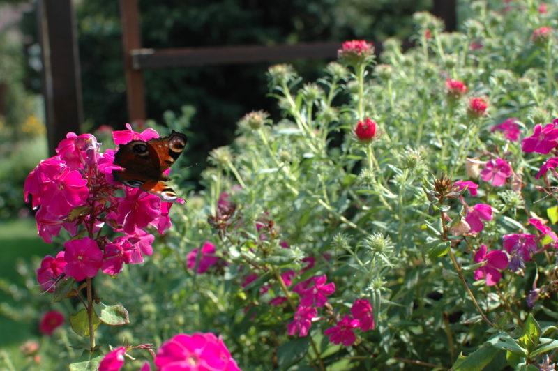 Motyl rusałka pawik, floks skrzydlasty w październiku, pożyteczne zwierzęta w ogrodzie