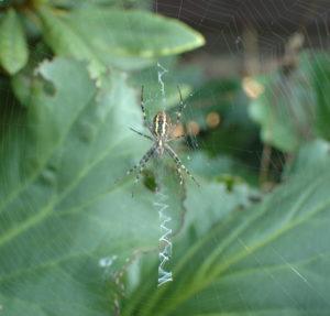Pająk tworzy na pajęczynie wzorek przypominający suwak