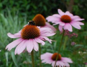 Jeżówka to ulubiona roślina wielu zwierząt, trzmiel objada się jej nektarem.