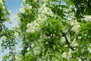 Kłokoczka kaukazka, dorasta do 5m wysokości, w maju kwitnie białymi kwiatami