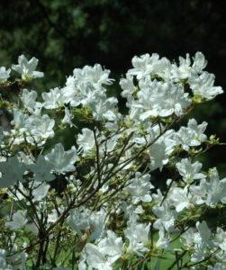 Biała azalia kwitnąca przed liśćmi