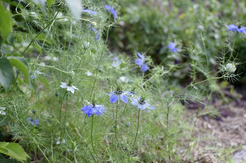 Czarnuszka potrafi być chwastem w ogrodzie, ma jadalne nasiona.