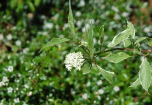 Kwiat derenia białego w maju