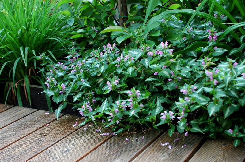 """Jasnota plamista lamium maculatum """"Roseum"""""""