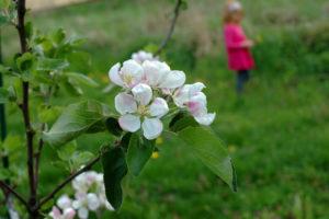 Kwiat jabłoni rozjaśnia nawet ponury dzień