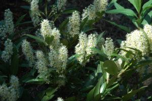 Laurowiśnia wschodnia to zimozielony krzew o pachnących kwiatach w maju