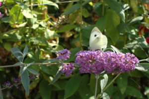 Motyl Bielinek na Budlei Dawida