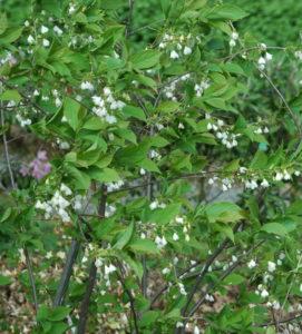 Ośnieża karolińska, niepopularna, ale ładna i łatwa roślina wrzosowata.