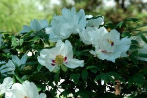 Piwonia drzewiasta ma pojedyncze kwiaty, ale za to jej pręciki są przecudne!