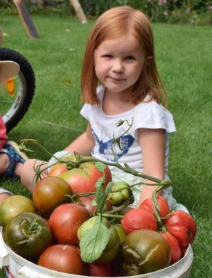 Plony pomidorów z grządki dla dzieci.