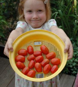 Pomidory urosły na grządce dla dzieci!