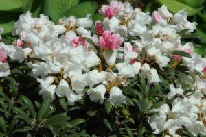 Różanecznik jakuszimański odmiana 'Yaku Knospe' w maju