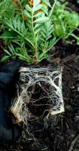 Rozluźnione korzenie sadzonki aksamitki