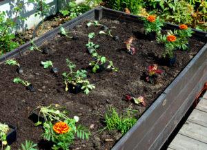 Układanie sadzonek w warzywniku w dużych odległościach