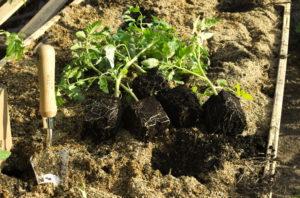System korzeniowy pomidorów