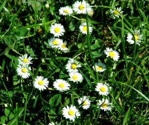 Stokrotki w trawie