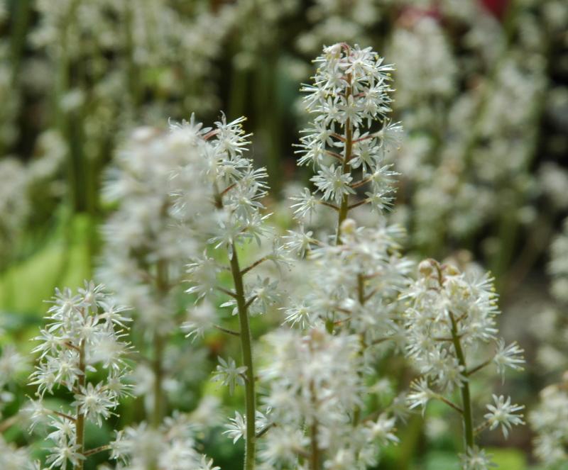 Tiarella w maju kwitnie na biało, warto jej mieć dużo w ogrodzie