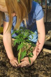 Ugniatanie ziemi wokół pomidorów, sadzenie