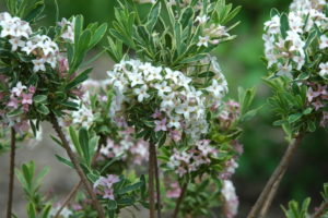 Wawrzynek Burkwooda ma nie tylko białe kwiaty, ale w dodatku paskowane listki.
