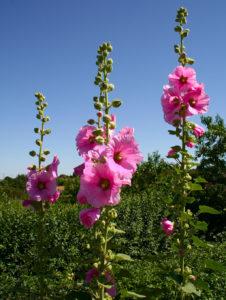 Malwa to roślina dwuletnia, najlepiej rośnie z letniej rozsady.