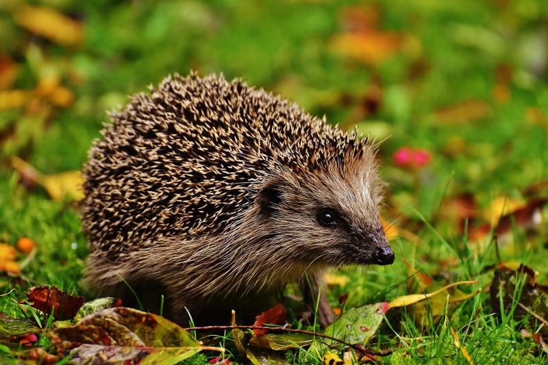 Jeż na trawniku jesienią