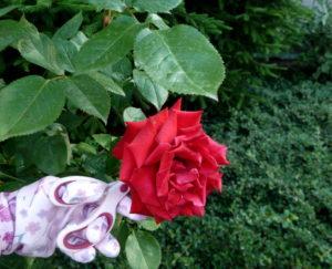Obcinanie róż aby pozyskać płatki