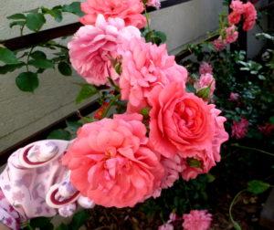 Obcinanie kwiatów róż na płatki odmiana 'Rosarium Uetersen'