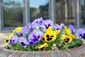 Bratki w donicy, kwiaty dwuletnie wysiewamy latem.
