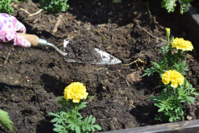 Sadzenie aksamitek